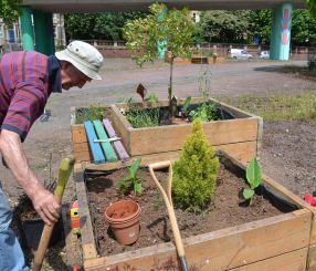 Planting Cannas
