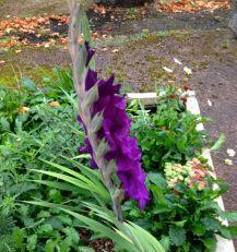 purple glad
